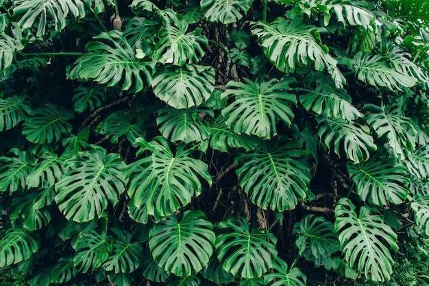 Foglie verdi della pianta del filodendro di monstera che crescono nella serra