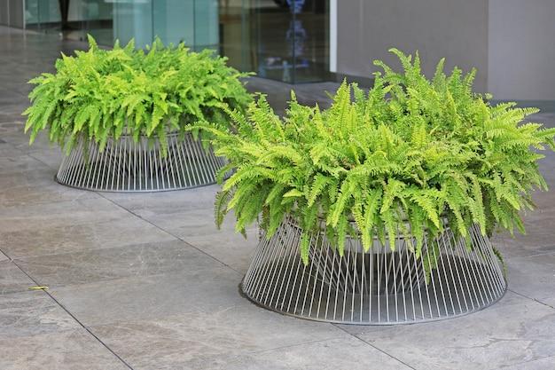 Foglie verdi della pianta dell'albero nella decorazione del vaso al giardino dell'ufficio.