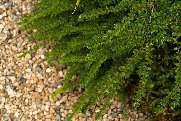 Foglie verdi della pianta di monstera che crescono in natura