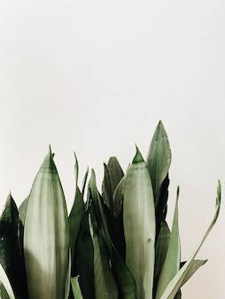 Foglie verdi della pianta di sansevieria