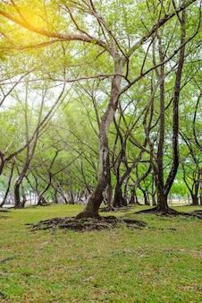 Foglie verdi della radice dell'albero di banyan e struttura della corteccia