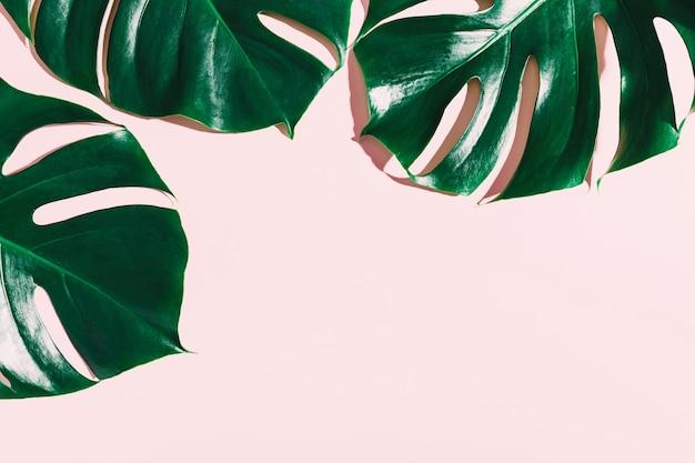 Foglie verdi di monstera sul rosa