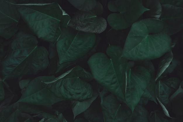 Foglie verdi di patata dolce