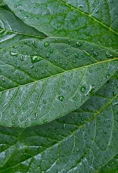 Foglie verdi di una pianta o arbusto, in rugiada, gocce d'acqua o dopo la pioggia. la struttura del fogliame. sfondo con texture.