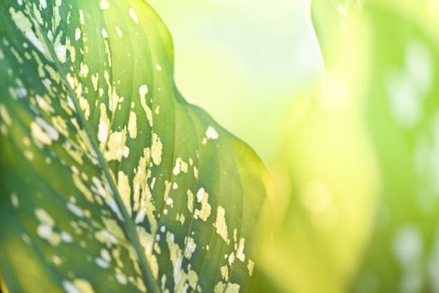 Foglie verdi e luce solare della pianta delle aracee sulla sfuocatura della natura di estate / piante ornamentali della canna scura