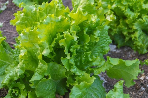 Foglie verdi e porpora della lattuga riccia nel giardino organico