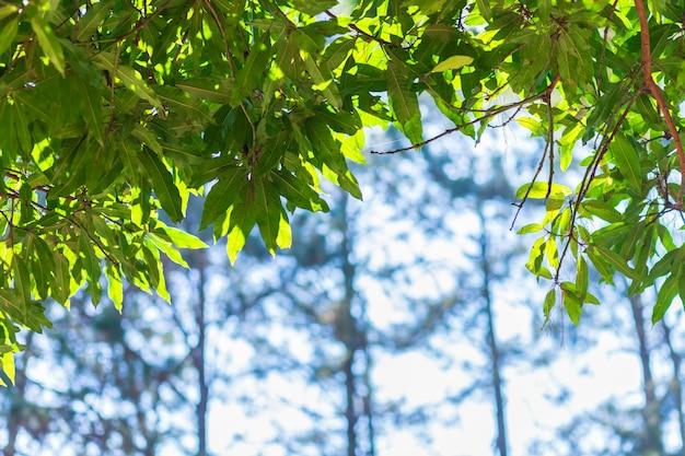 Foglie verdi, foglie di mango bokeh sfocato.