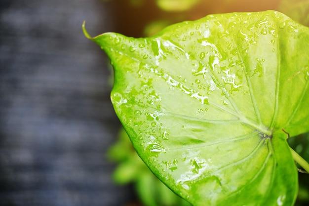 Foglie verdi fresche con le gocce di rugiada dell'acqua e luce solare nel giardino