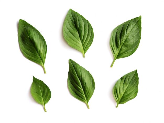 Foglie verdi fresche del basilico isolate.