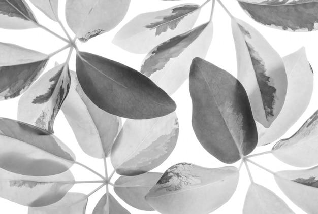 Foglie verdi fresche del primo piano isolate su tono bianco del fondo in bianco e nero