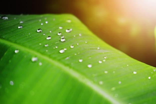 Foglie verdi fresche della banana e gocce di rugiada dell'acqua con luce solare nel giardino