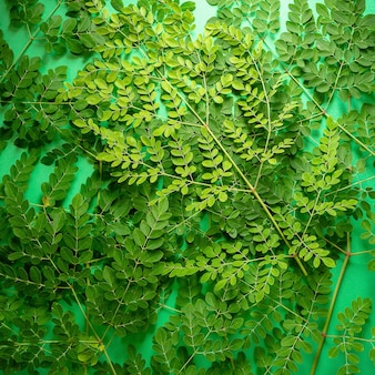 Foglie verdi fresche di moringa su balckground verde