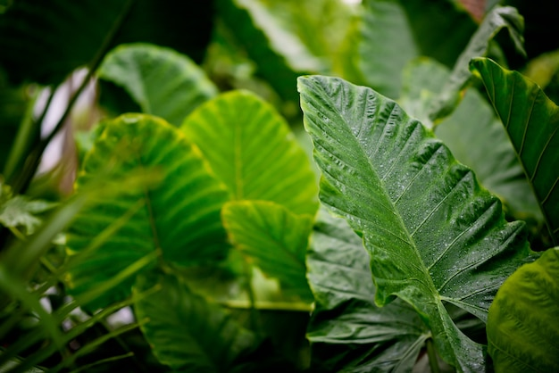 Foglie verdi sfondo naturale, texture della foglia, foglie con spazio per il testo