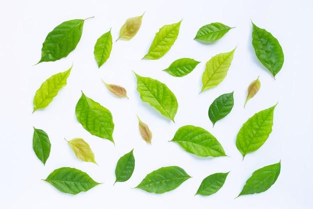 Foglie verdi su sfondo bianco