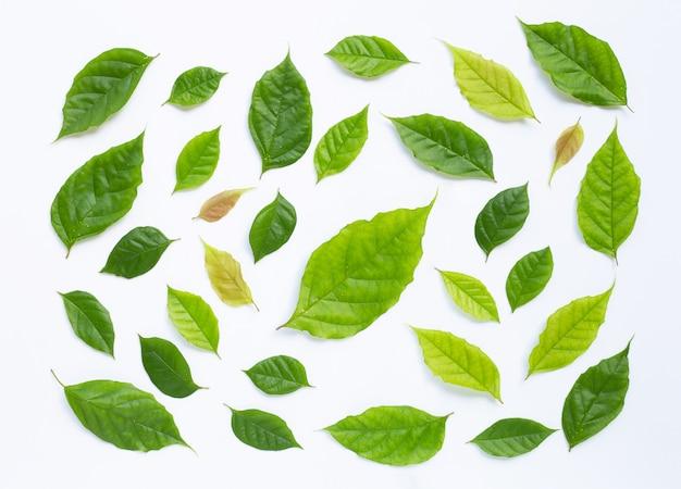 Foglie verdi su sfondo bianco.