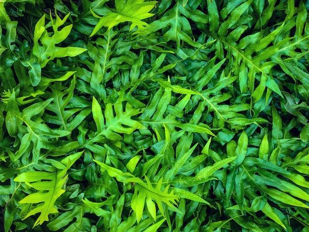 Foglie verdi tropicali della molla della natura.