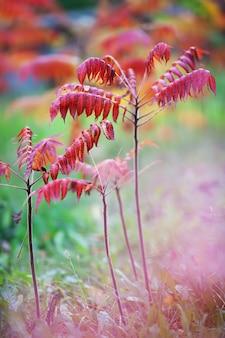 Foglie vibranti colorate su una pianta di sommacco durante la stagione autunnale, giovani alberi