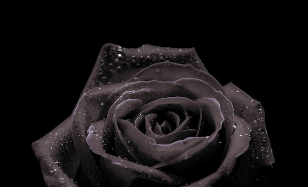 Fondo a macroistruzione del primo piano di bella rosa nera su fondo nero per il san valentino.