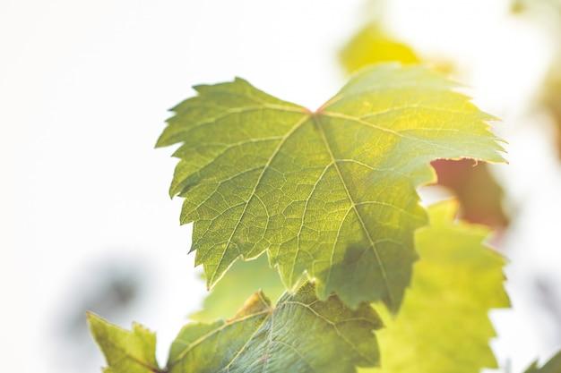 Fondo astratto ambientale con le foglie dell'uva e il bokeh leggero usati come fondo