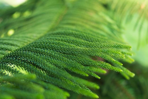 Fondo astratto dell'albero di pino dell'isola della norfolk