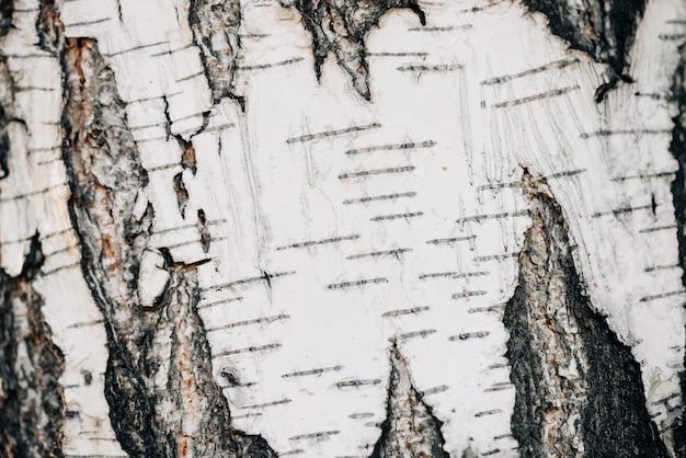 Fondo bianco della natura del primo piano della corteccia di betulla.