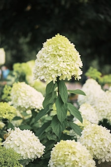 Fondo bianco di macrophylla dell'ortensia del giardino