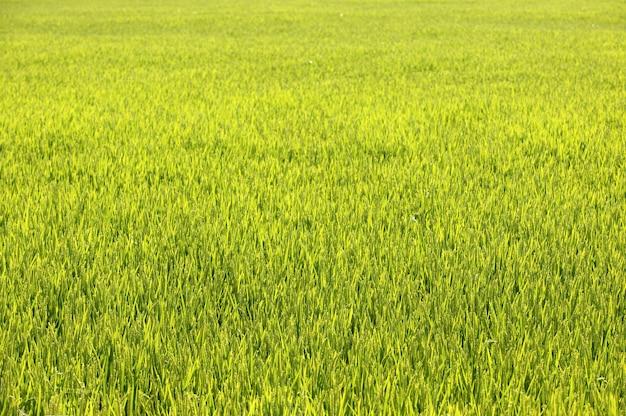 Fondo dei campi di verde del cereale del riso