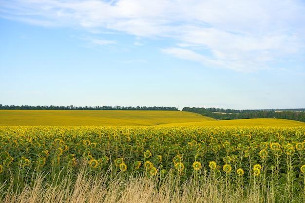 Fondo del cielo nuvoloso del campo agricolo del girasole stagione del raccolto estate