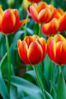 Fondo del fiore del tulipano, natura variopinta del prato dei tulipani in primavera, fine su