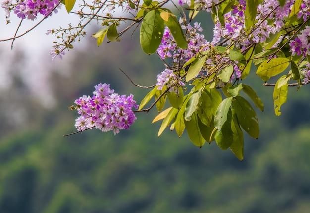 Fondo del fiore di floribunda di lagerstroemia, fiore di estate