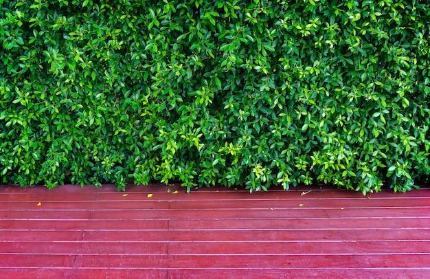 Fondo delle foglie verdi dell'annulata di ficus o foglia dell'albero di banyan e di legno
