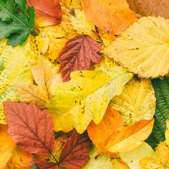 Fondo di autunno del primo piano luminoso delle foglie cadute, vista superiore.