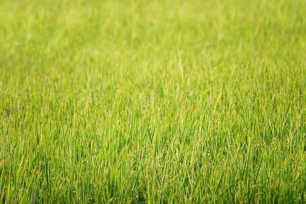 Fondo di bellezza con il giacimento verde del riso in tailandia