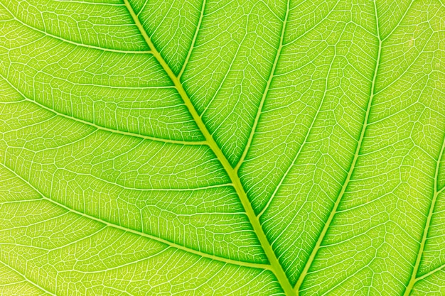 Fondo di struttura del modello della foglia verde