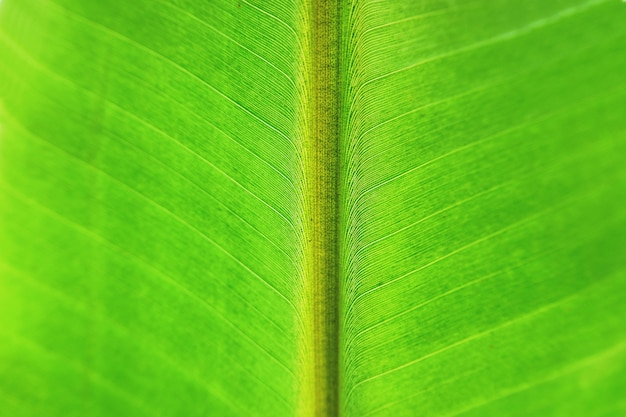 Fondo di struttura della foglia della banana del primo piano