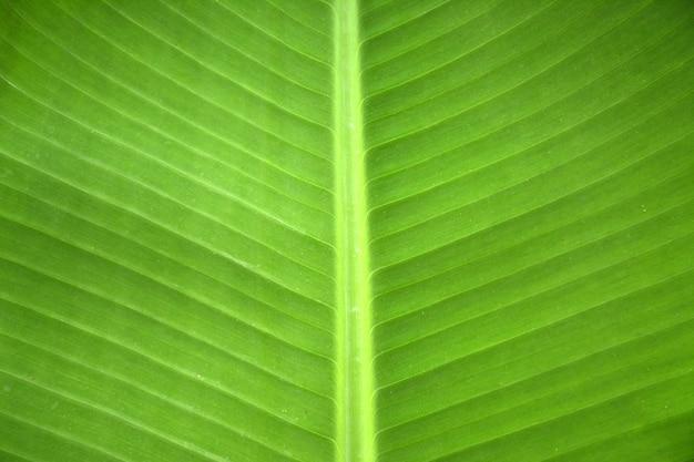 Fondo di struttura della foglia verde fresca della lampadina.