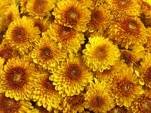 Fondo giallo del fiore del crisantemo, fondo di struttura del fiore di estate