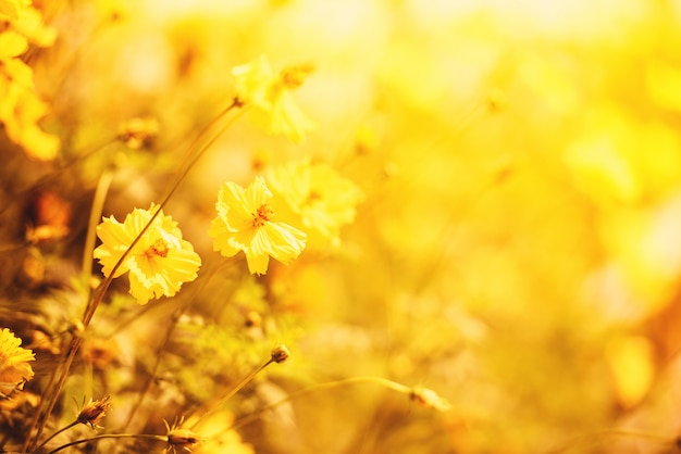Fondo giallo della sfuocatura del giacimento del fiore della natura autunno della calendula della pianta gialla