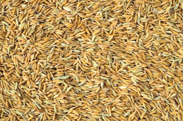 Fondo giallo di struttura della natura del riso del seme di risaia. vista dall'alto