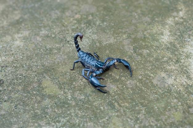 Fondo nero del pavimento del calcestruzzo dello scorpione asiatico