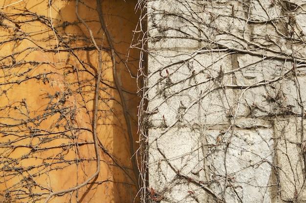 Fondo rampicante di struttura della parete della pianta di autunno