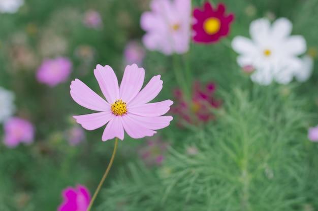 Fondo rosa del fiore dell'universo (cosmos bipinnatus)