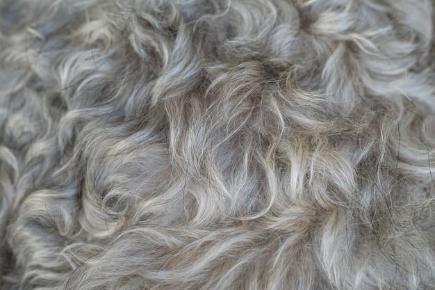 Fondo strutturato dei capelli del cane dello schnauzer di superficie del primo piano