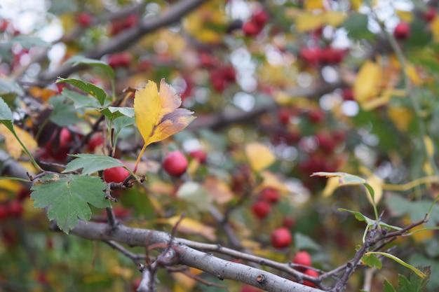Fondo verde naturale delle bacche mature fresche del ramo del crespino