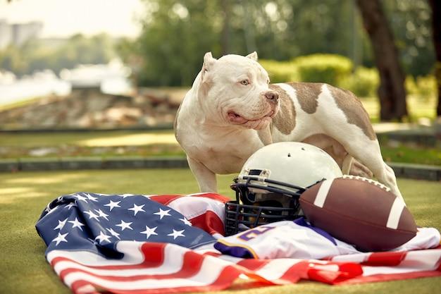Football americano . un cane con un unim di un giocatore di football americano in posa per la telecamera in un parco. patriottismo del gioco nazionale, copyspace, banner pubblicitario.