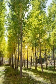 Foresta autunnale autunno precoce con alberi di pioppo giallo