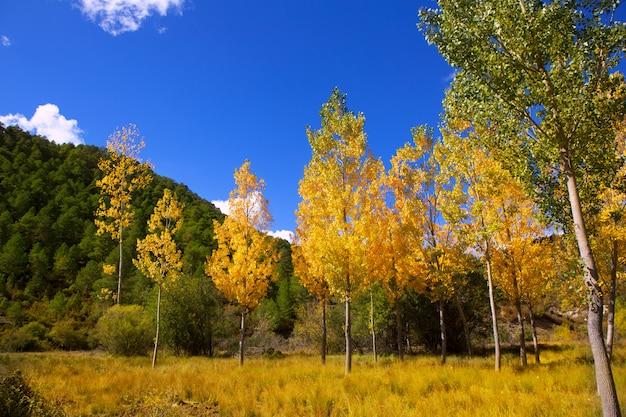 Foresta autunnale con pioppi gialli dorati