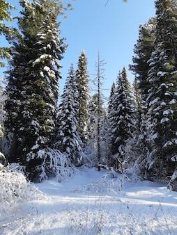Foresta con alberi di pino coperti di neve in inverno