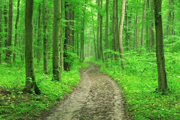 Foresta con alberi