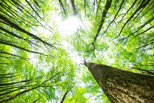 Foresta con grandi alberi